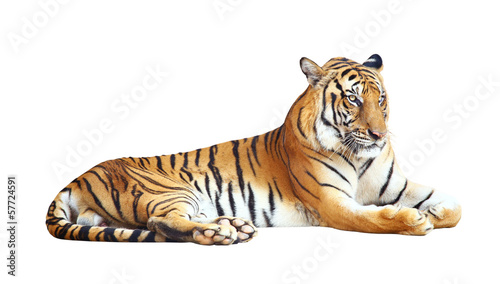 In de dag Tijger Tiger with clipping path on white background