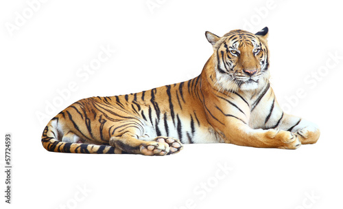 Tiger looking camera with clipping path on white background Canvas Print