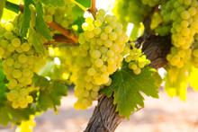 Chardonnay Wine Grapes In Vine...