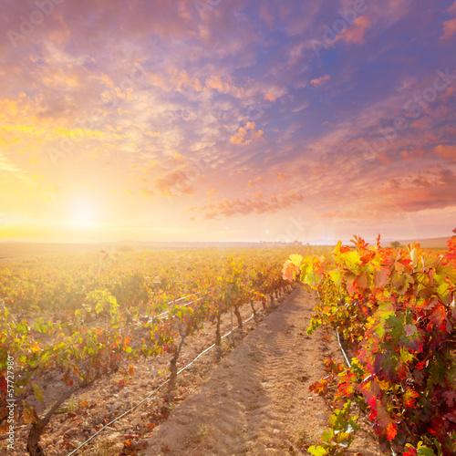 Fototapeta winnica   wschod-slonca-w-winnicy-w-winnicach-utiel-requena-w-hiszpanii