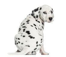 Rear View Of A Dalmatian Puppy Sitting, Looking At The Camera