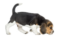 Side View Of A Beagle Puppy Walking, Sniffing The Floor