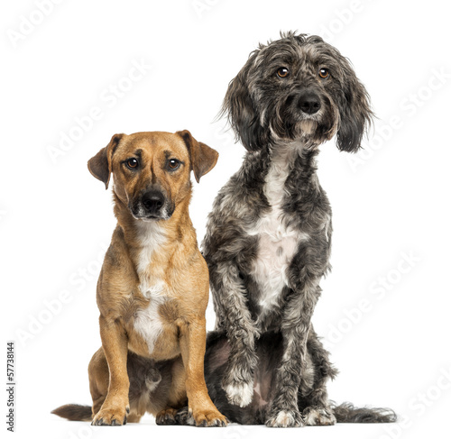 Brittany Briard crossbreed dog and Jack russel sitting together Wallpaper Mural