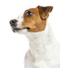 Close-up Of A Jack Russell Terrier's Profile, Looking Up