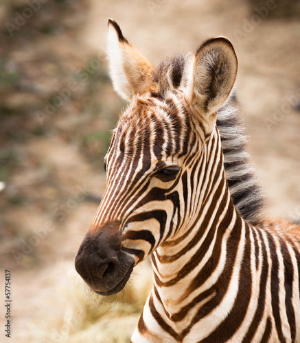 Tuinposter Zebra beautiful baby brown zebra portrait
