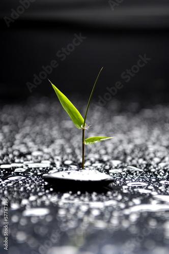 zielony-bambus-z-czarnymi-kamieniami-w-kropli-wody