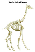 Skeletal System Of A Giraffe