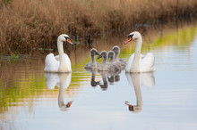 Mute Swan Family Enjoying Summ...