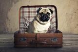 Fototapeta Dogs - Dog in a Case