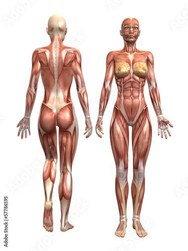 Fotografia Anatomie Muskel Mann