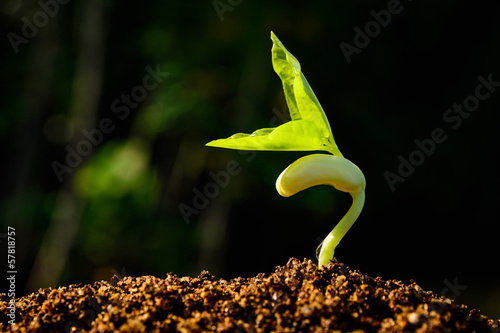 Fotomural Green sprout growing from seed