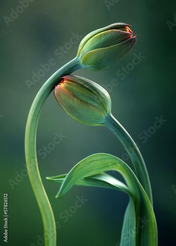 Obraz Tulipany w zieleni - fototapety do salonu