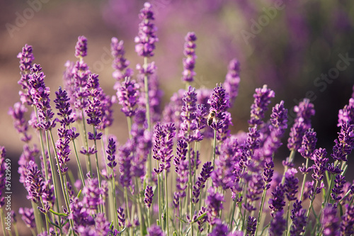 Tuinposter Lavendel Lavender flowers in the field