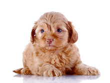 Puppy Of A Decorative Doggie On A White Background.