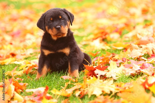 Fotografie, Obraz  Rottweiler Puppy Sitting in Autumn Leaves