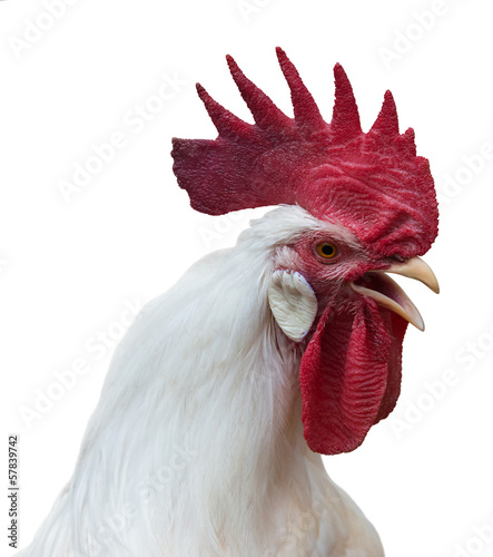 Fotografie, Obraz White rooster crowing