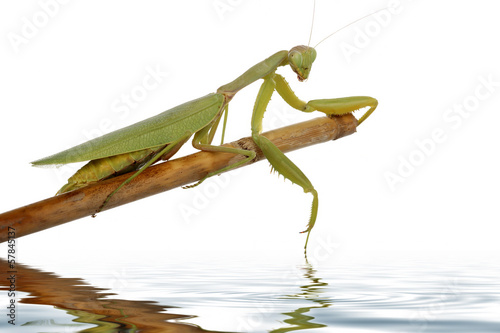 Fotografie, Obraz  praying mantis
