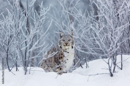 Foto auf Leinwand Luchs Lynx in the snow