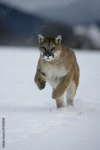 Fotobehang Leeuw Puma or Mountain lion, Puma concolor