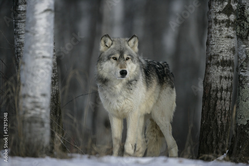Grey wolf, Canis lupus #57875148