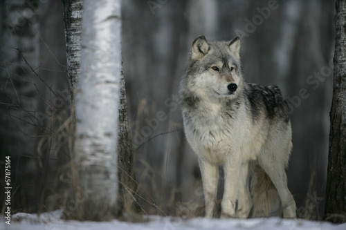 Cadres-photo bureau Loup Grey wolf, Canis lupus