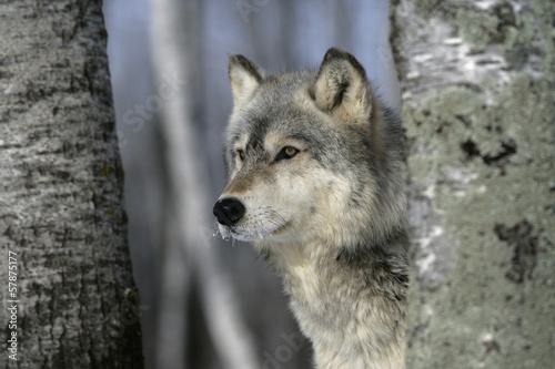 Grey wolf, Canis lupus #57875177