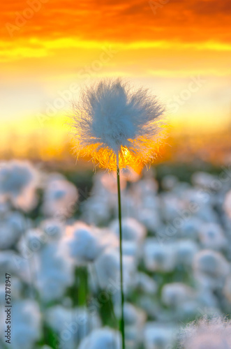 Poster Waterlelies Cotton grass on a background of the sunset sky