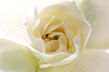 Center of Gardenia flower.