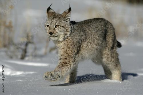 Foto auf Leinwand Luchs Siberian lynx, Lynx lynx