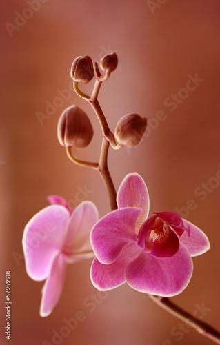 Storczyk różowy
