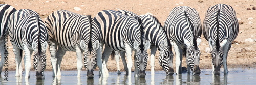 Poster Zebra herd of zebras at waterhole