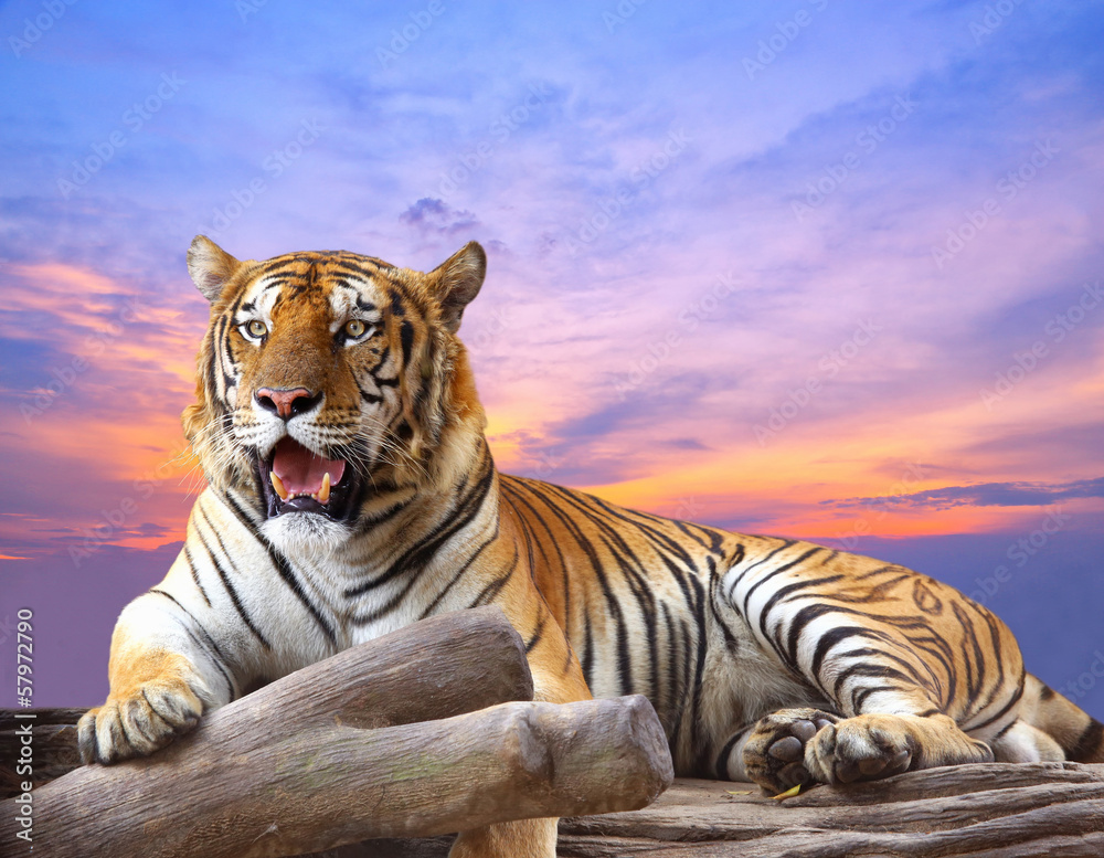 Fototapeta Tiger looking something on the rock with beautiful sky at sunset