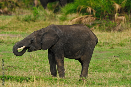 Poster Rhino Shot of an African Elephant drinking