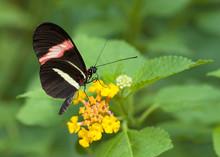 Papillon Hericonius Erato