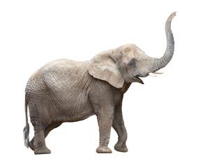 Panel Szklany PodświetlaneAfrican elephant (Loxodonta africana) female.
