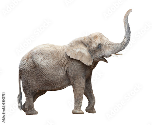 Foto op Aluminium Olifant African elephant (Loxodonta africana) female.