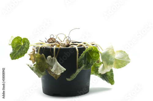 Photo  wilted pot plant