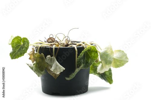 Valokuvatapetti wilted pot plant