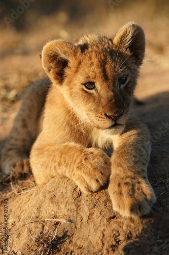 Portrait of a lion cub Poster Mural XXL