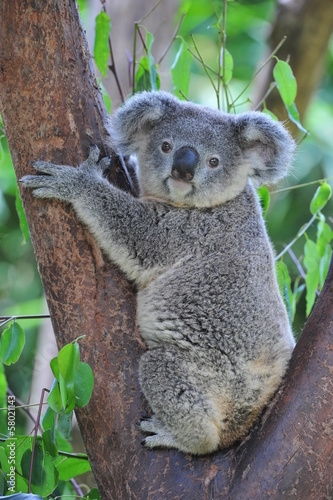 Foto op Canvas Koala Koala Bear