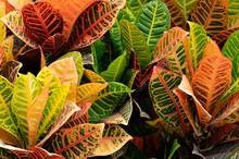 Vibrant Colored Croton Plant