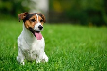 Jack Russell Terrier In Green ...