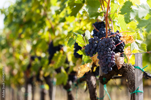 Tuinposter Wijngaard cluster of grapes, vines and cultivated vine