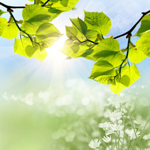 The Green Leaves And Sun On Blue Sky