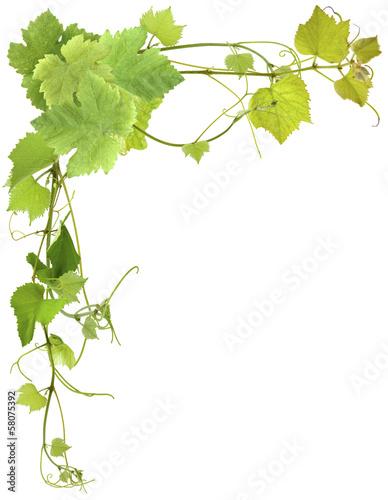 liscie-winorosli