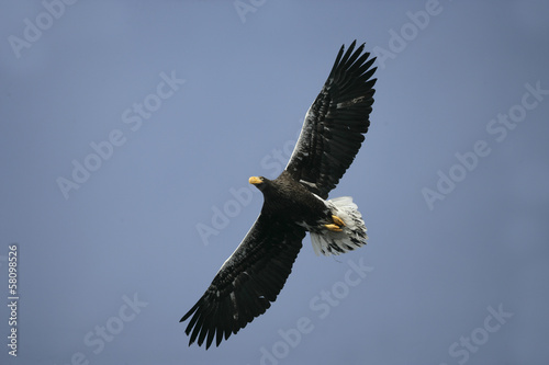 Poster Aigle Steller's sea-eagle, Haliaeetus pelagicus