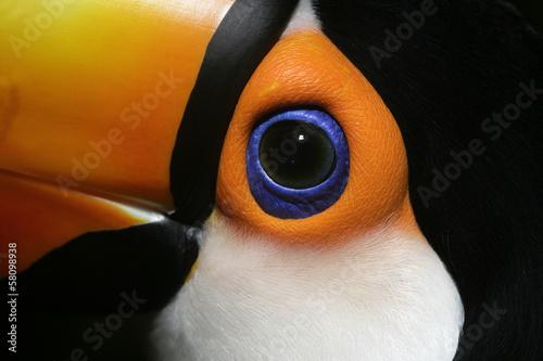 Poster Toekan Toco toucan, Ramphastos toco