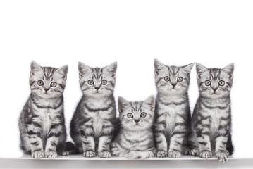 FototapetaFünf britisch Kurzhaar Kätzchen in Reihe