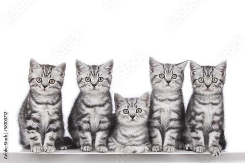 Fünf britisch Kurzhaar Kätzchen in Reihe - 58100712