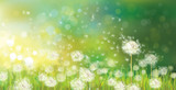 Fototapeta Puff-ball - Vector of spring background with white dandelions.